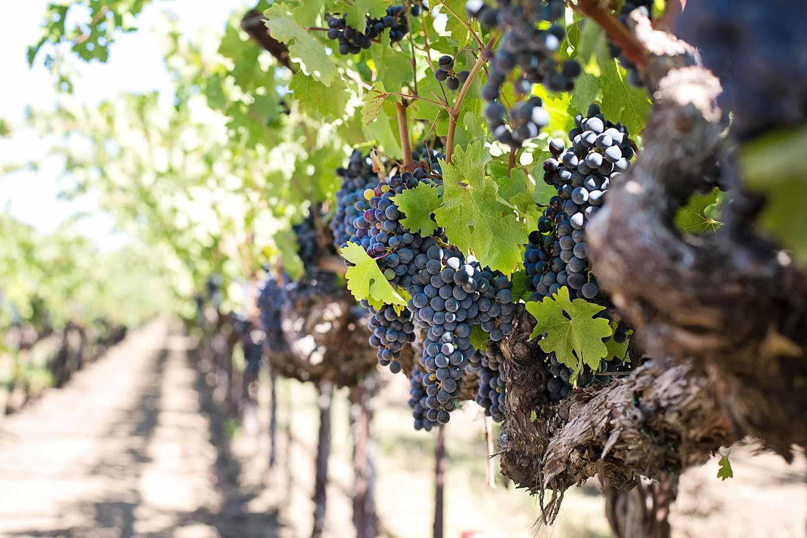 Weingut-Besuch-Mallorca-Weinprobe-Mallorca-3